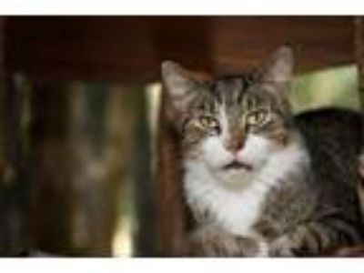 Adopt Lucky (Sponsored; available to foster or adopt) a Domestic Short Hair