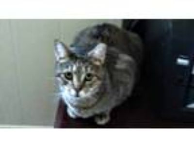 Adopt Jasper a Gray, Blue or Silver Tabby Domestic Shorthair / Mixed cat in