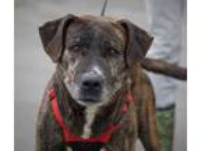 Adopt Gramps (Gus) a Brindle - with White American Pit Bull Terrier / Mixed dog