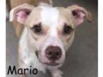 Adopt MARIO a Tan/Yellow/Fawn Hound (Unknown Type) / Terrier (Unknown Type