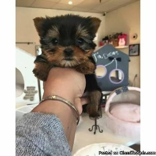 Yorkie puppies Available For Yorkie Lover