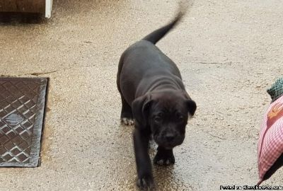 Amazing Pedigree Cane Corso Puppies