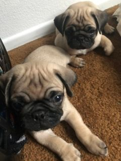 Pug PUPPY FOR SALE ADN-101133 - Beautiful Pug Puppies