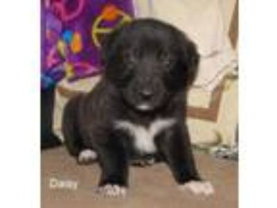 Adopt Daisy a Black German Shepherd Dog / Mixed dog in Wisconsin Rapids
