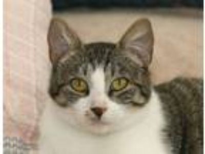 Adopt Roxie a Tabby, Domestic Short Hair