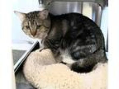 Adopt Jake a Brown or Chocolate Domestic Shorthair / Domestic Shorthair / Mixed