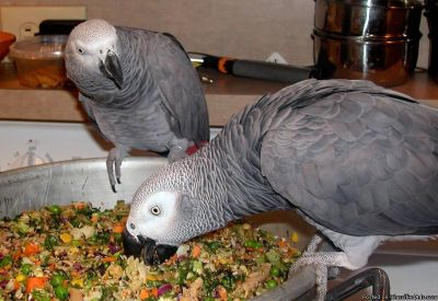 +Congo African Grey Bird Parrots with cage +978+361+2435