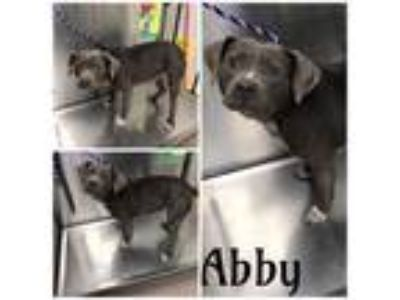 Adopt ABBY a Gray/Silver/Salt & Pepper - with White American Pit Bull Terrier /