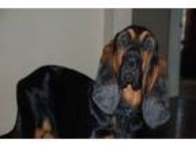 Adopt Zeke a Bloodhound