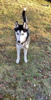 Re-homing needed for Siberian Husky