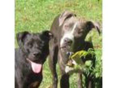 Adopt Gossamer a Brindle - with White Mastiff / American Pit Bull Terrier dog in