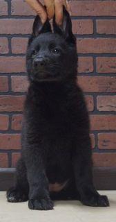 German Shepherd Dog PUPPY FOR SALE ADN-96356 - Amazing AKC German  Shepherd Puppies