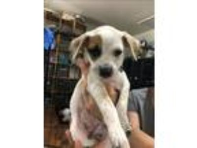 Adopt Sugar a White - with Brown or Chocolate Australian Cattle Dog / Mixed dog