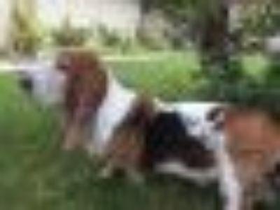 Hunter Basset Hound Dog
