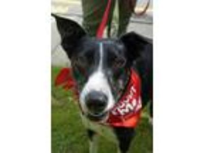 Adopt Stella a Border Collie, Greyhound