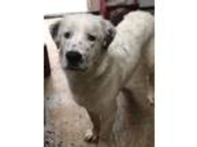 Adopt Ghost a White - with Black St. Bernard / English Setter / Mixed dog in