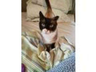 Adopt Marshmallow a Cream or Ivory (Mostly) Snowshoe (short coat) cat in