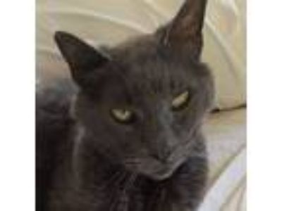Adopt Olivia a Russian Blue, Domestic Medium Hair