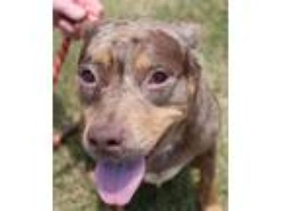 Adopt Miranda a Brown/Chocolate Catahoula Leopard Dog / Mixed dog in Abbeville