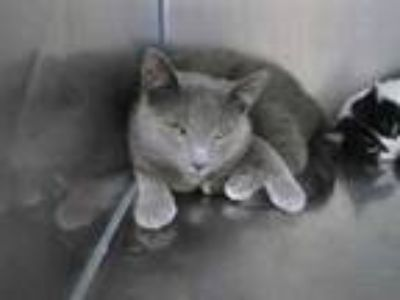 Adopt Kitty Kitty a Gray or Blue Domestic Shorthair / Domestic Shorthair / Mixed