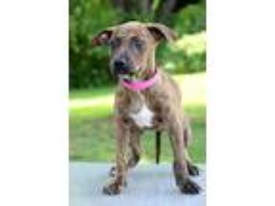 Adopt Melanie a Brindle - with White Plott Hound / Pit Bull Terrier / Mixed dog