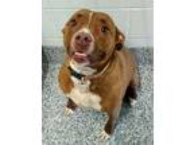 Adopt Mocha a Pit Bull Terrier / Mixed dog in Angola, IN (25572829)