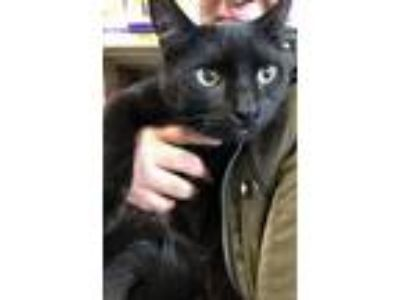 Adopt Jupiter is The Sweetest Young boy a All Black Bombay / Mixed (short coat)