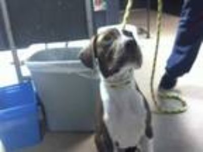 Adopt a Brown/Chocolate - with White Pointer / Mixed dog in Charlotte