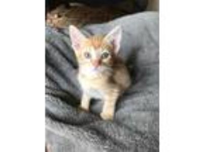 Adopt Moira a Orange or Red Domestic Shorthair / Domestic Shorthair / Mixed cat