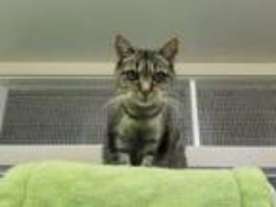 Adopt Saldonna a Domestic Short Hair, Tiger