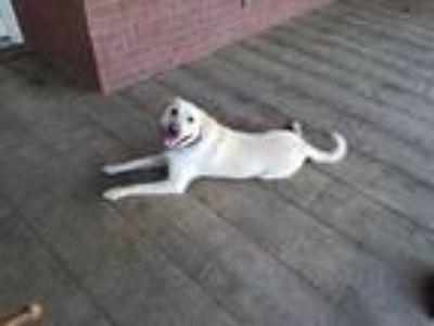 Adopt Sole` a Tan/Yellow/Fawn Labrador Retriever / German Shepherd Dog dog in