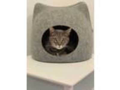 Adopt Eddie (At Pounce Cat Cafe) a Gray or Blue Domestic Shorthair / Domestic