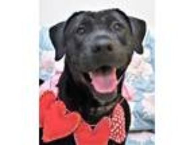 Adopt SHARON a Labrador Retriever / Mixed dog in Little Rock, AR (23484960)