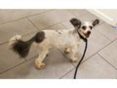 Adopt Angel a White - with Gray or Silver Shih Tzu / Poodle (Toy or Tea Cup) /