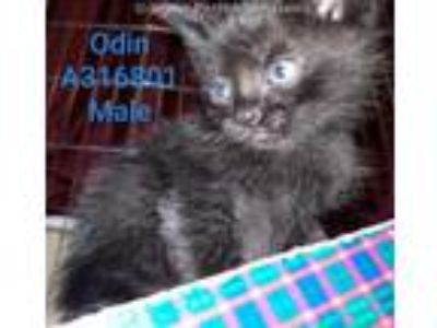 Adopt ODIN a All Black Domestic Shorthair / Mixed (short coat) cat in Conroe