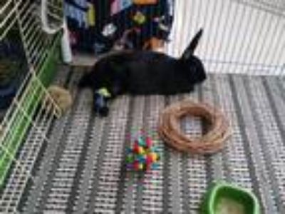 Adopt Jax a Black Havana / Mixed (short coat) rabbit in Libertyville