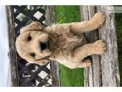 Goldendoodle Female