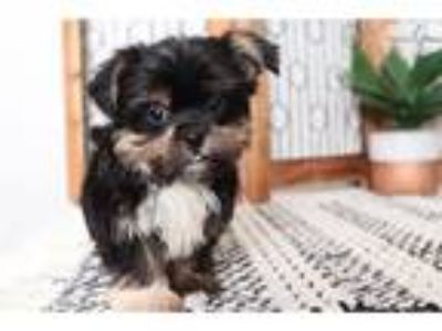 Mickey Most Adorbale Little Male Shorkie Puppy