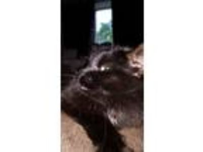 Adopt Sookie a All Black Domestic Longhair / Mixed cat in North Reading