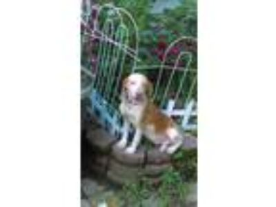 Adopt Petunia a Tan/Yellow/Fawn - with White Beagle / Mixed dog in south