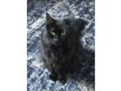 Adopt Kiki Courtesy Post a Maine Coon, Domestic Medium Hair