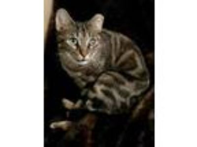 Adopt Skye a Gray, Blue or Silver Tabby Domestic Shorthair (short coat) cat in