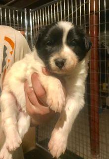 Border Collie PUPPY FOR SALE ADN-70941 - Border Collie Puppies