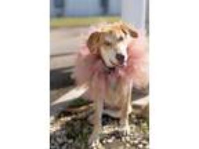 Adopt Andrea a Labrador Retriever, Golden Retriever