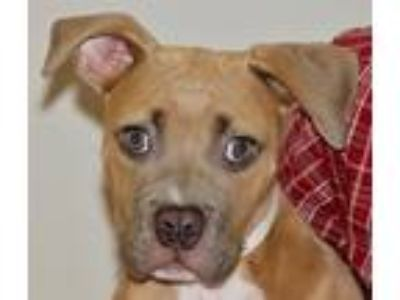 Adopt Toffee a American Pit Bull Terrier / Mixed dog in Oakland, CA (25540048)