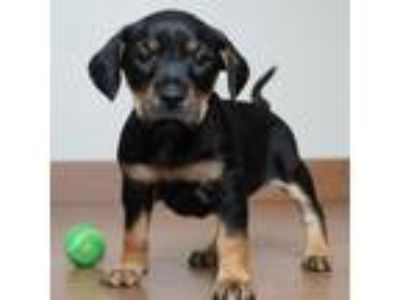 Adopt Chris Craft aka CiCi D190637: PENDING ADOPTION a Dachshund, Terrier