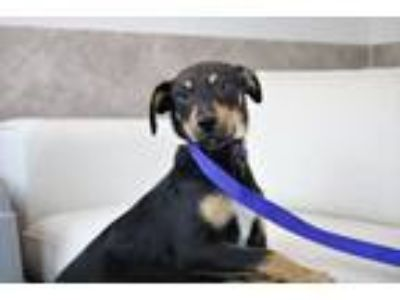 Adopt Thing 2 a Terrier, Miniature Pinscher