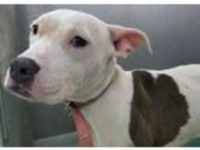 Adopt Nova a White American Pit Bull Terrier / Mixed dog in The Colony
