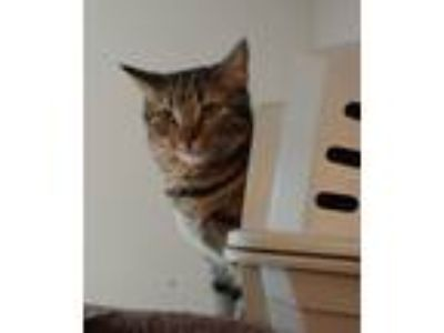 Adopt Brownie a Brown Tabby Domestic Shorthair / Mixed cat in Penndel