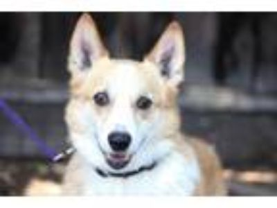Adopt Corn Dog a Corgi
